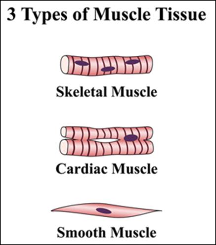 Ilustrasi jaringan otot pada jaringan hewan dan fungsinya.